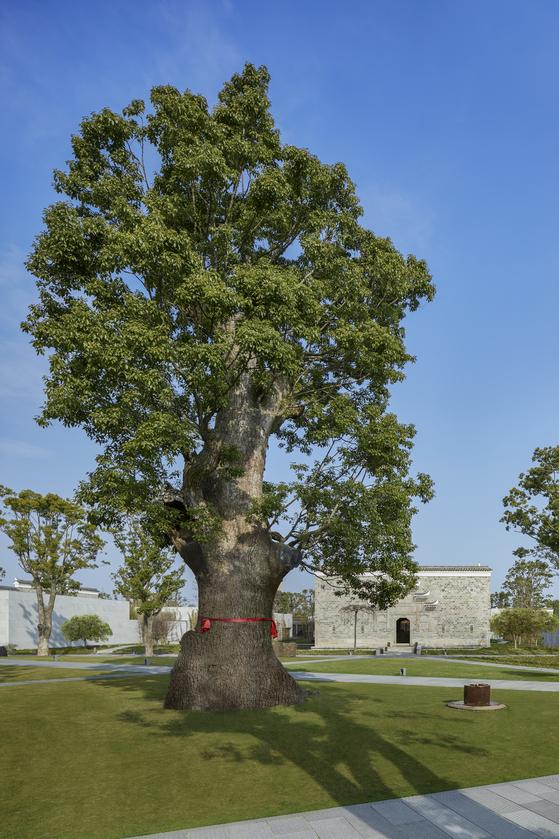 상하이 아만양윤의 상징과 같은 2000년 수령의 녹나무. [사진 아만양윤 리조트]