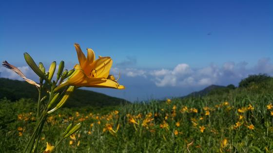 지리산국립공원 노고단. 여름에는 원추리와 함박꽃나무 등 야생화가 피어난다. [사진 국립공원공단]