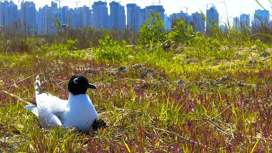 200개 둥지에서 겨우 건진 검은머리갈매기 알…15마리 다시 자연으로