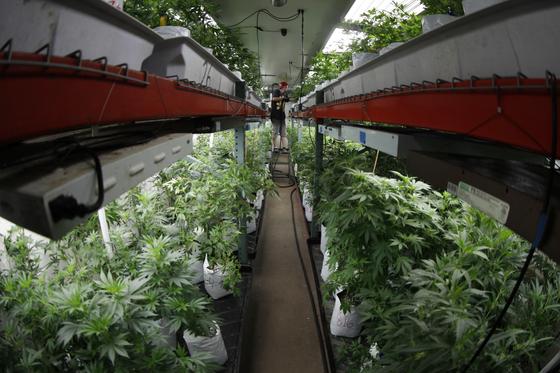 미국 콜로라도주 덴버시의 한 대마 재배 농장에서 작업자가 대마를 관리하고 있다. [AP=연합뉴스]