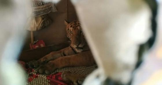 인도 북동부 하무티 마을 가정집에서 발견된 호랑이. [사진 WTI 트위터]