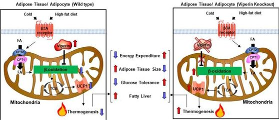 서울대와 연세대, 미국 예일대 공동연구팀은 면역 관련 유전자인 '바이페린'(Viperin)이 지방세포의 에너지 소비 과정에 관여한다는 사실을 규명했다고 23일 밝혔다. [사진 서울대]