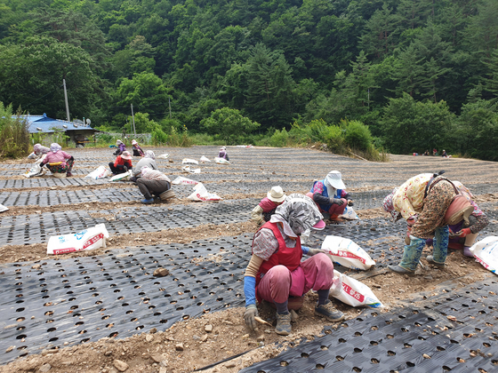 23일 경북 봉화군 석포면 마을에 위치한 쪽파밭에서 70~80 노인들이 쪽파 모종을 심고 있다. 박진호 기자