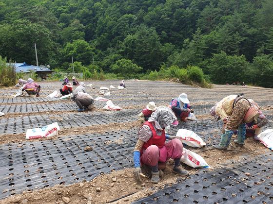 70~80대 노인이 지난 23일 경북 봉화군 한 마을에서 쪽파 모종을 심고 있다. 이 밭은 전날 강원 삼척에서 발생한 사고로 숨진 강모(61·여)씨 등 '원정 밭일'에 나선 일행의 목적지였다. 박진호 기자