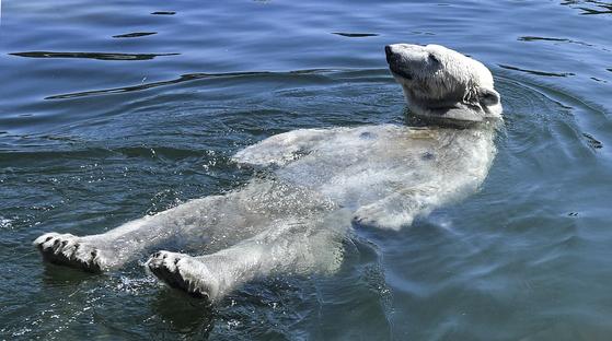 북극곰이 24일 독일 겔젠 키르 헨 (Gelsenkirchen)의 한 동물원에서 더위를 식히고 있다. [AP=연합뉴스]