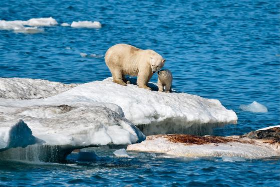 북극곰 가족이 23일 러시아 추쿠가( CHUKOTKA) 지역의 한 빙산에 갇혀있디.[ TASS=연합뉴스]