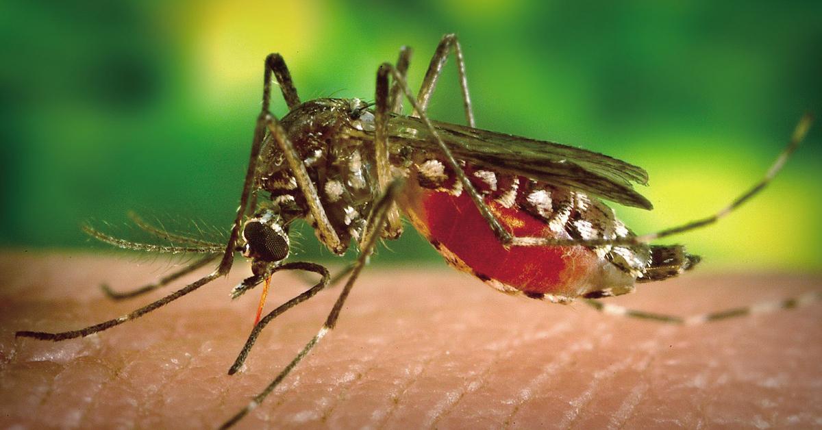 사람의 피를 빨고 있는 모기. [중앙포토]