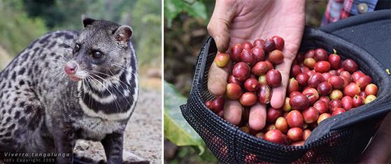 루왁 커피는 사향고양이(왼쪽)에게 커피 열매(오른쪽)를 먹이고, 그가 배설한 똥에서 원두를 골라내 만든다. 위즐 커피는 사향족제비에게 커피 열매를 먹여서 생산한 원두로 만든다. [사진 중앙포토, pixabay]