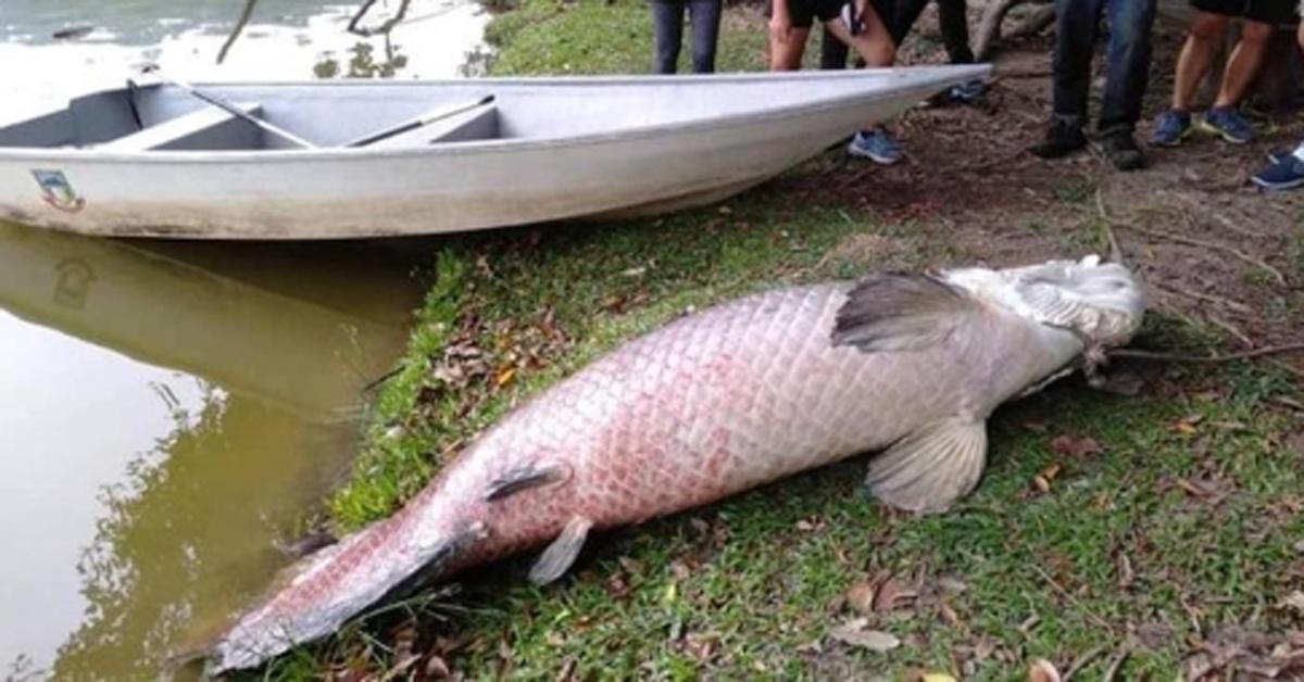 말레이 코타키나발루 인근 호수에서 발견된 '108㎏ 물고기'. 아마존에 사는 고대 어종 아라파이마로 확인됐다. [말레이메일=연합뉴스]