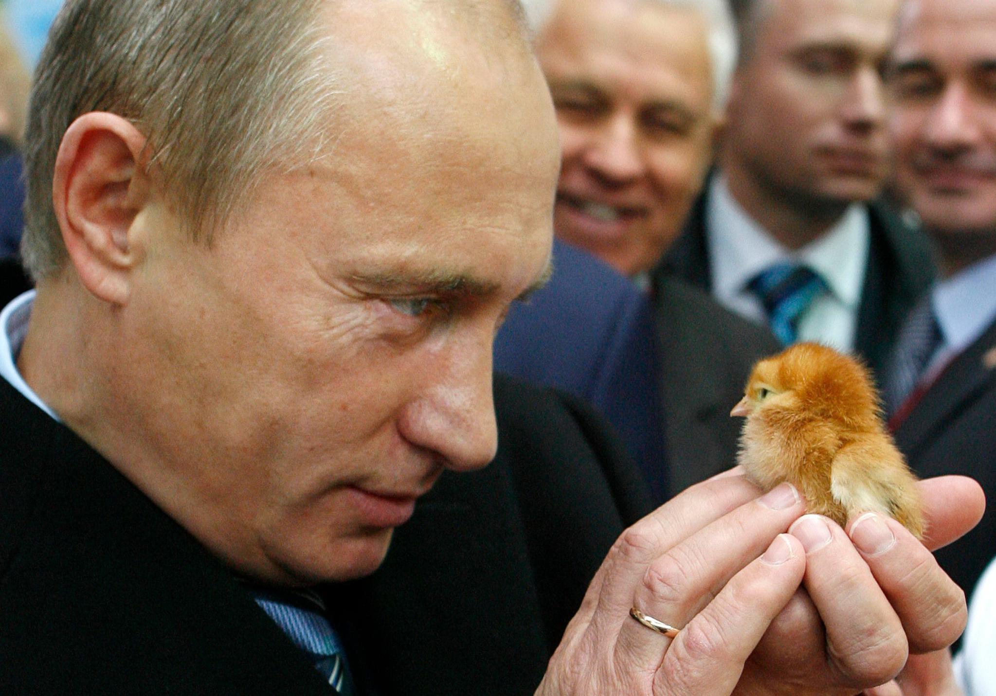 2008년 10월 11일, 푸틴 대통령이 농업박람회에 참가해 병아리 한 마리를 들고 있다. [AFP=연합뉴스]