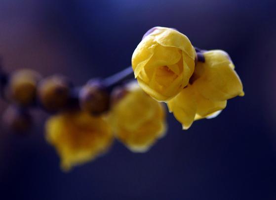 소별왕이 이번엔 꽃 피우기 내기를 하자고 하였다. 자신의 꽃은 금방 시들었지만 대별왕의 꽃은 번성하는 것을 보고 소별왕은 대별왕이 잠든 사이 자신의 꽃과 바꿔치기하였다. [뉴시스]