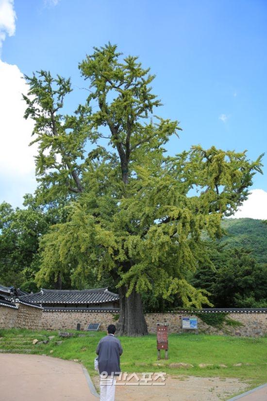 [녹우당 앞을 지키고 있는 500년 수령의 은행나무]