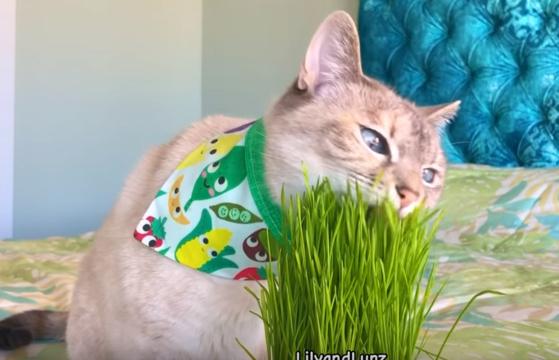풀을 뜯어 먹는 애완 고양이. [유튜브 화면 캡처]