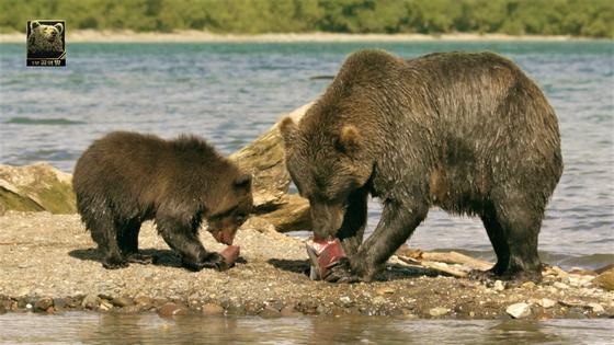 사냥한 연어를 새끼와 함께 나눠먹는 엄마 불곰 [사진 MBC]