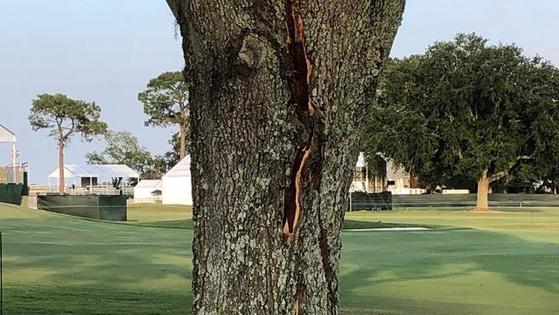 나무는 번개에 맞고 갈라졌다. [사진 미국골프협회]
