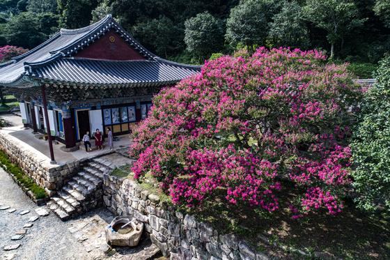 꽃분홍색 화사함을 뽐내는 배롱나무. (사진은 전남 강진의 백련사 배롱나무) [중앙포토]