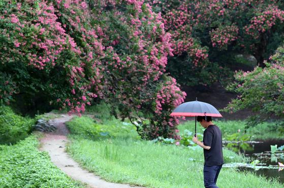 비가 내린 지난 22일 오전 전남 담양군 명승 제58호 명옥헌 원림(鳴玉軒 苑林)에 배롱나무꽃이 붉게 피었다. [연합뉴스]