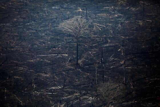 화재로 검게 타버린 브라질 아마존 열대우림 지역을 24일(현지시간) 하늘에서 내려다 본 모습. 화마에 쓰러지지 않은 나무 한 그루가 홀로 서 있다. [로이터=연합뉴스]