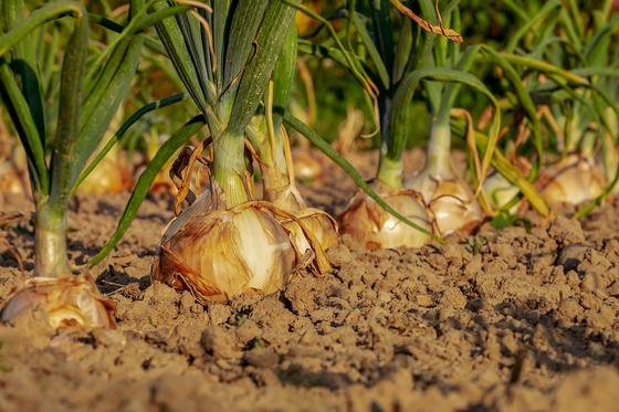 일부 농산물은 과잉생산됐다고 하는데, 다른 한편에서는 식량 자급률을 걱정한다. [사진 pixabay]