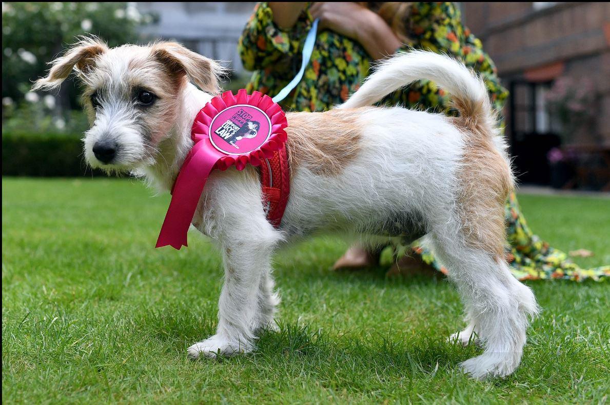 존슨 영국 총리가 입양한 유기견 딜린. 딜린이 목에 어린 강아지와 고양이의 복지를 강화하는 루시법 홍보 리본을 하고 있다. [캐리 시먼즈 트위터 캡처]