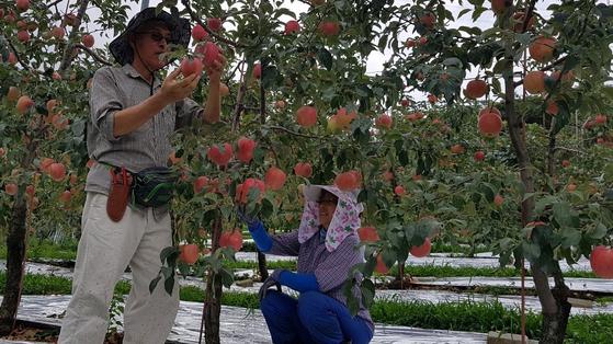 김택성(왼쪽) 명품프레샤인 공동선별회장과 그의 아내 우영자 씨가 지난달 29일 명산농원에서 사과를 키우고 있다. 여기서 재배한 사과 5개 중 1개 정도는 최상품 사과다. 문희철 기자