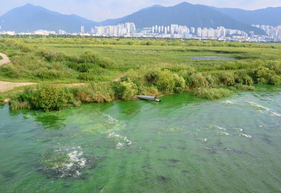 지난달 26일 오후 부산 서부산낙동교에서 바라본 낙동강 본류가 녹조로 오염 돼 있다. [연합뉴스]