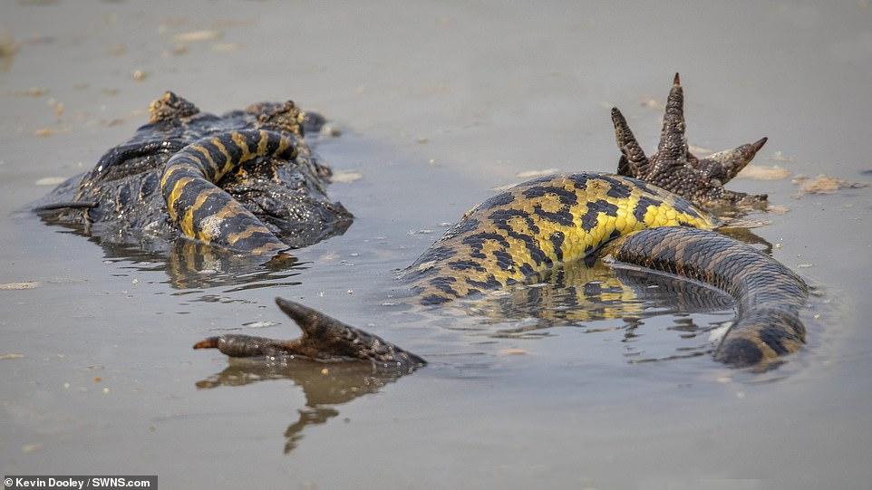 아나콘다와 카이만 악어가 브라질 판타날 습지에서 사투를 벌이고 있다. [사진 케빈 둘리]