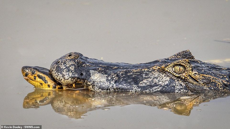 아나콘다와 카이만 악어가 브라질 판타날 습지에서 사투를 벌이고 있다. 악어가 아나콘다의 목을 물고 있다. [사진 케빈 둘리]