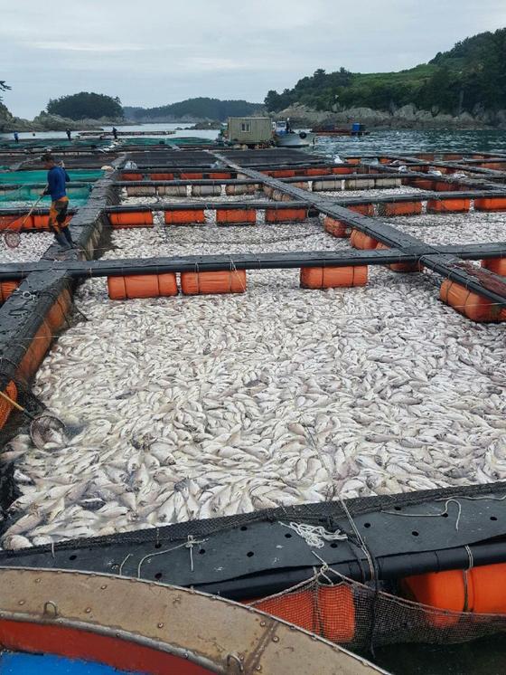 적조가 덮친 남해군 미조항 앞바다의 가두리양식장에 참돔이 죽은채 떠올라있다. 송봉근 기자