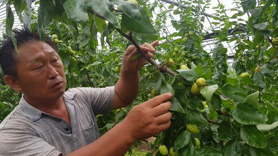 김태영씨가 지난 9일 오전 자신의 대추농장에서 덜 익은 대추를 보여주고 있다. 최종권 기자