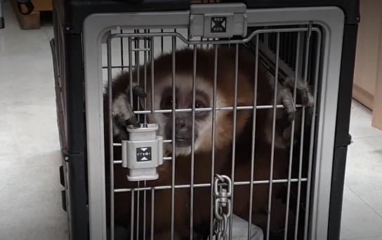 경기 광주 상가서 포획된 긴팔원숭이. [연합뉴스]