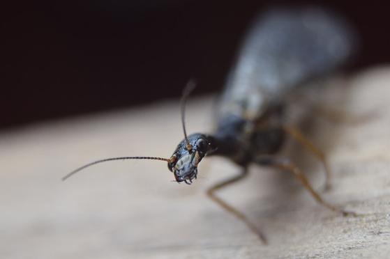 개미는 유성생식으로 일개미를 만들고, 난자만으로(처녀생식) 수개미를 생산한다. [사진 pixabay]