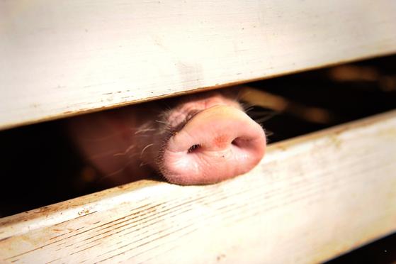 미국의 한 돼지농가에서 돼지 한 마리가 울타리 밖으로 코를 내밀고 있다. [AFP=연합뉴스]