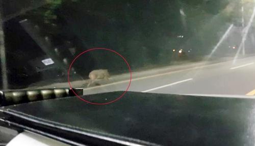 울산 도심에 나타난 멧돼지. [사진 울산지방경찰청]