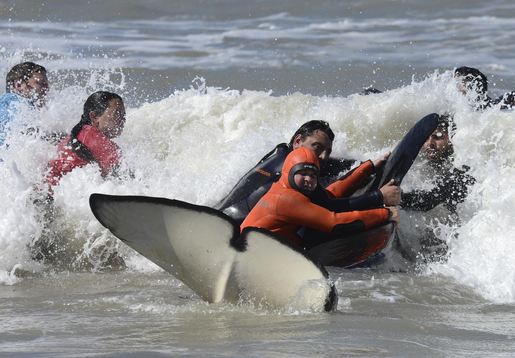 구조대와 자원봉사자들이 16일(현지시간) 아르헨티나 마르치키타 인근 해변에 고립된 범고래를 바다로 돌려보내기 위해 애를 쓰고 있다. [AP=연합뉴스]
