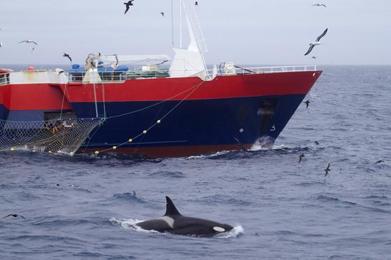 올해 5월 25일 남극해에서 조업중인 어선과 범고래의 모습. 남극해양생물자원보존위원회는 남극 생물 보존과 지속적인 이용을 위해 남극해 어업량을 규제한다. [EPA=연합뉴스]
