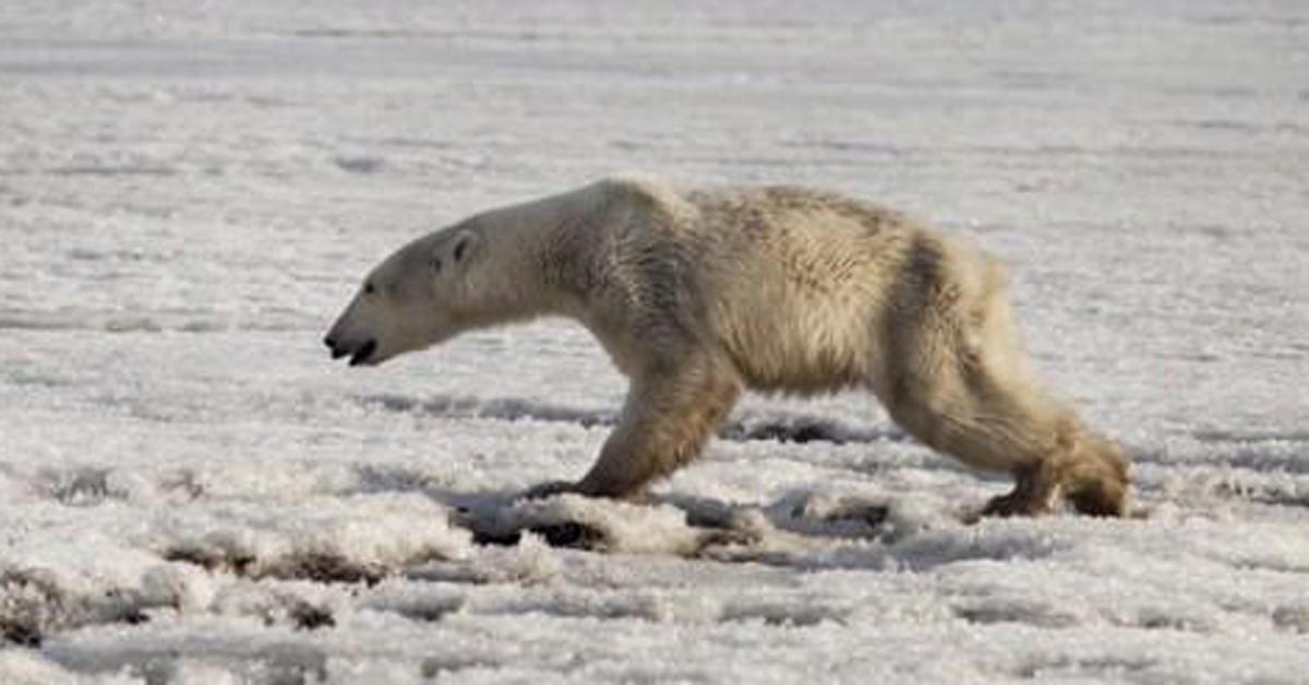 지난 4월 16일(현지시간) 러시아 캄차카반도의 틸리치키 부근의 얼음 위를 걷는 북극곰. 굶주림으로 야윈 모습이다. [AP=연합뉴스]