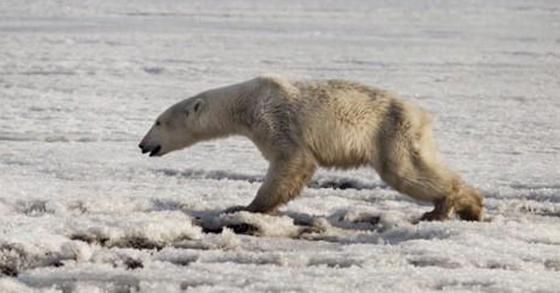 지난 4월 러시아 캄차카 반도에서 발견된 굶주림으로 야윈 북극곰. [AP=연합뉴스]