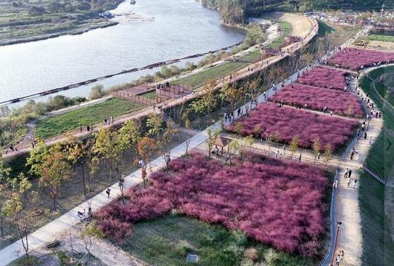 악양생태공원 핑크뮬리(사진: 함안군청 제공).