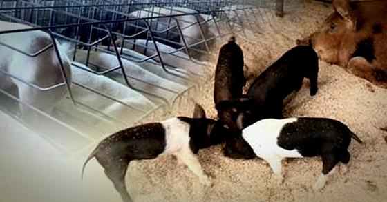 국정원은 아프리카돼지열병(ASF)으로 북한 평안북도의 돼지가 전멸했다고 밝혔다. [연합뉴스]