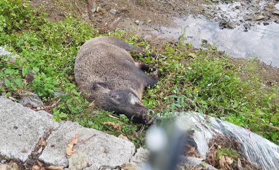 울산 울주군 온양읍 주택에 26일 멧돼지 1마리가 나타나 80대 할머니를 공격해 할머니가 다쳤다. 이후 인근 개천에서 죽은 멧돼지 1마리가 발견됐다. [연합뉴스]