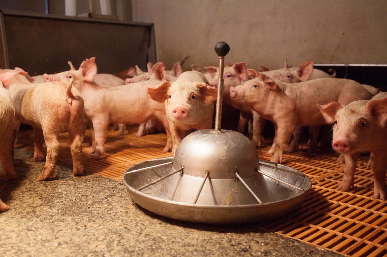 농림축산식품부는 28일 경기 양주시의 돼지농장에서 아프리카돼지열병 의심 신고가 들어왔다고 밝혔다. [사진 한돈자조금]