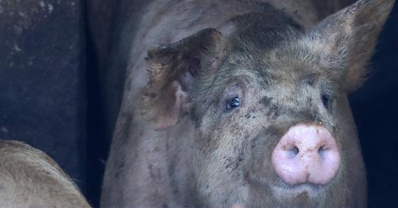 경기지역 양돈 농가 곳곳에 아프리카돼지열병(ASF) 확진 판정이 이어져 전국 일시이동중지명령(스탠드스틸)이 연장 발효 중인 26일 오후 강원 춘천시 한 양돈 농장에서 돼지들이 서로 몸을 부대끼고 있다. [연합뉴스]