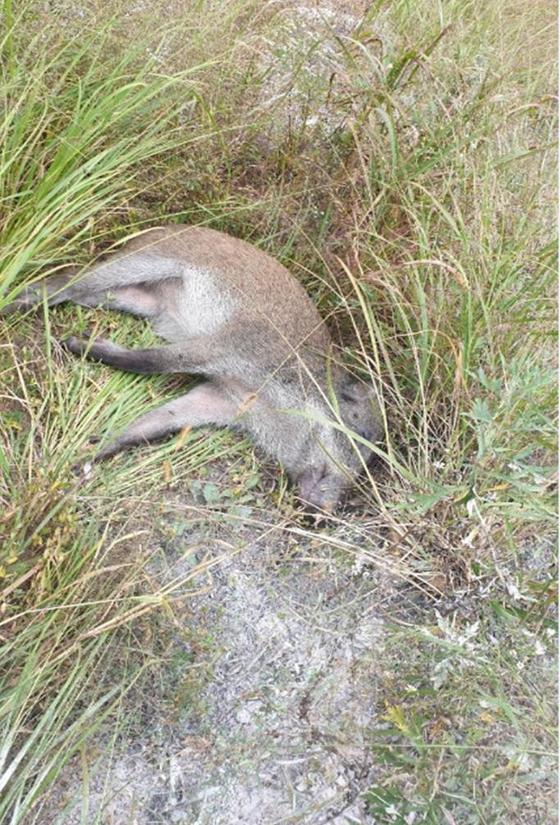 3일 DMZ 북쪽 1.4km 지점에서 발견된 야생 멧돼지의 사체. [환경부]