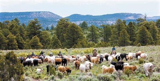 미국 오클라호마주의 척박한 땅에서 소가 풀을 뜯어 먹고 있다. [사진 미국육류수출협회]