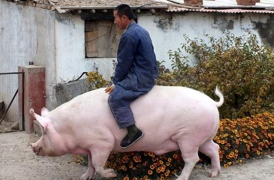 중국이 아프리카돼지열병으로 농가 돼지의 절반이 폐사하는 등 큰 어려움을 겪고 있는 가운데 이에 대한 타개책의 일환으로 '자이언트 돼지'를 사육해 눈길을 끌고 있다. [로이터=연합뉴스]