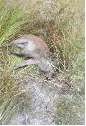 지난 2일 경기도 연천군 내 비무장지대(DMZ)에서 발견된 야생멧돼지 폐사체. 환경부는 3일 이 개체에서 ASF 바이러스가 검출됐다고 밝혔다.[환경부 제공 연합뉴스]