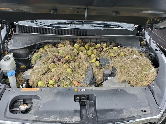 미국 펜실베니아에 사는 한 부부가 타는 자동차 엔진에 호두와 건초가 가득하다. [AP=연합뉴스]