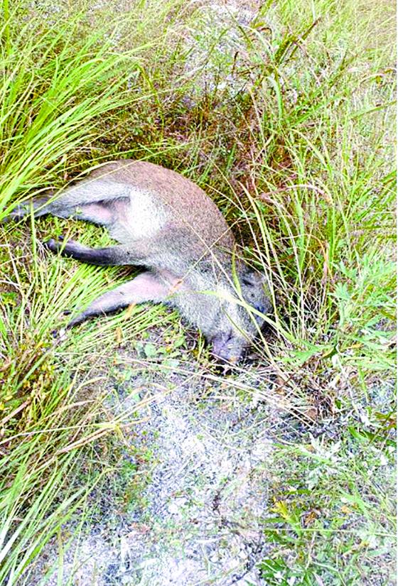 지난 2일 비무장지대에서 발견된 야생 멧돼지 폐사체. 이 멧돼지는 아프리카돼지열병에 걸려 죽은 것으로 확인됐다. [사진 환경부]