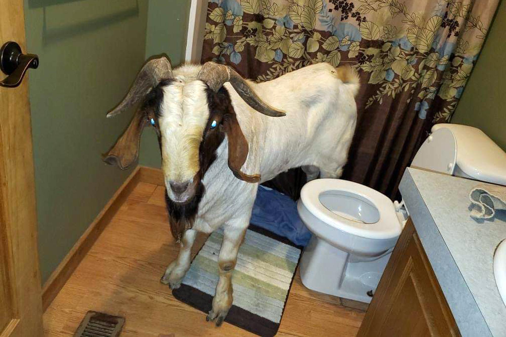 지난 4일 미국 오하오주 설리번 타운십의 한 가정집에 숫염소 한마리가 침입했다 붙잡혔다. 염소의 이름은 '빅보이'로 알려졌다. [AP=연합뉴스]